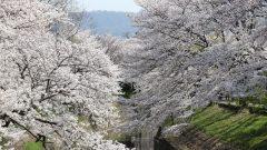 20180330 1 240x135 - 佐保川の桜並木