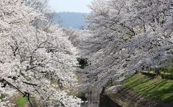 20180330 1 600x371 - 佐保川の桜並木