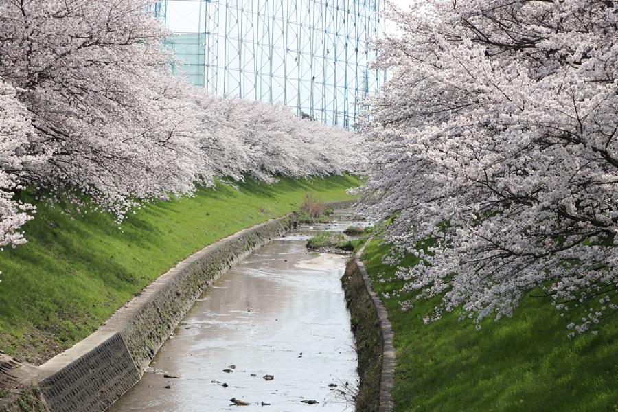 20180330 11 - 佐保川の桜並木