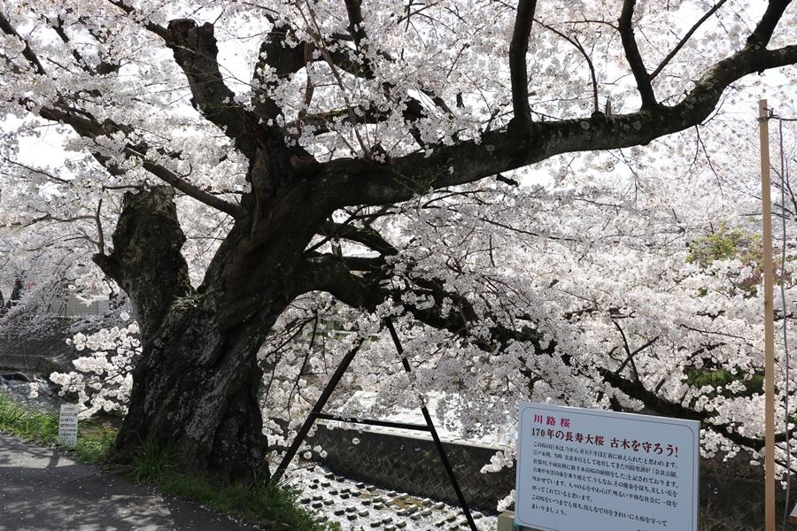 20180330 2 - 佐保川の桜並木