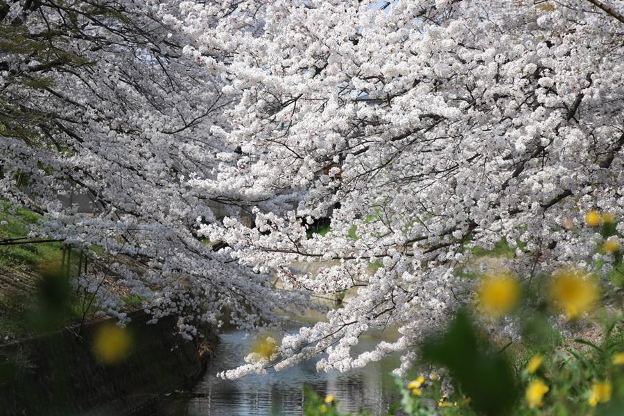 20180330 5 - 佐保川の桜並木