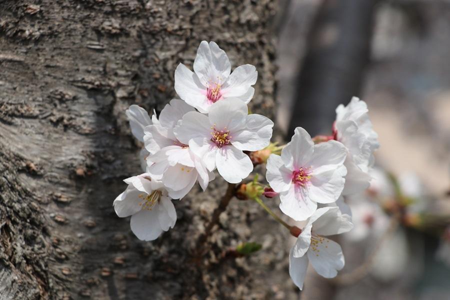 20180330 7 - 佐保川の桜並木