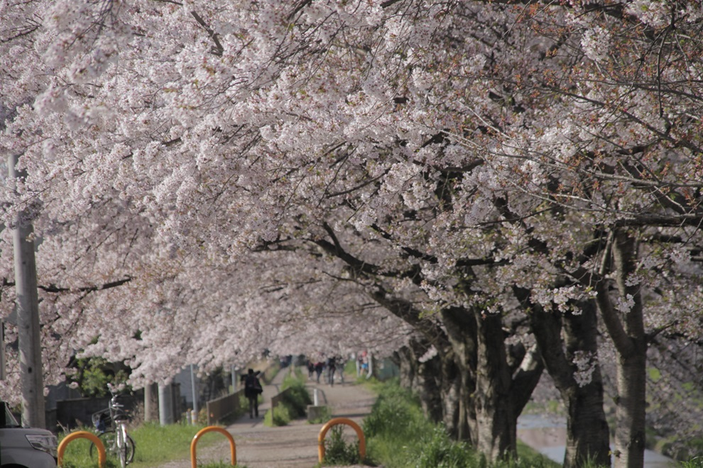 20180330 8 - 佐保川の桜並木