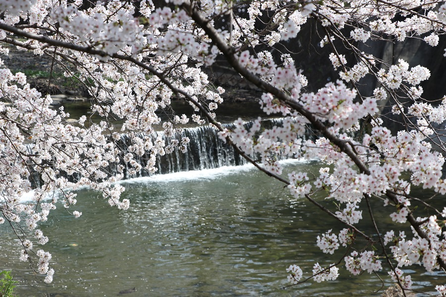 20180330 - 佐保川の桜並木