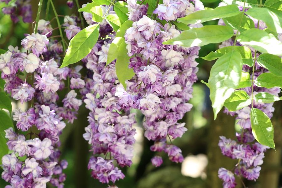 20180501 13 - 春日大社神苑・萬葉植物園へ行ってきました。