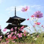 IMG 4371 150x150 - 奈良のコスモスの名所。
