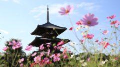 IMG 4371 240x135 - 奈良のコスモスの名所。