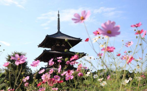 IMG 4371 600x371 - 奈良のコスモスの名所。