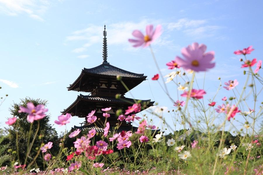 IMG 4371 - 奈良のコスモスの名所。