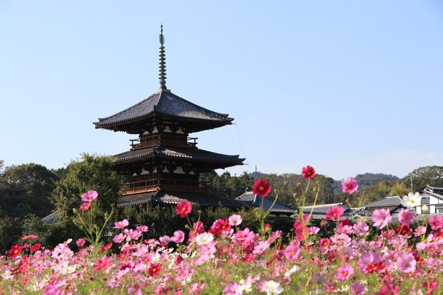 IMG 4413 - 奈良のコスモスの名所。